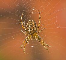 Garden spider, Araneus diadematus by Jon Lees