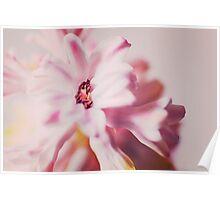 pink hyacinth flower petals Poster