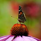Butterfly on pink flower by evilcat
