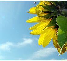 Sunflower Shinning Photographic Print
