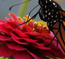 Zinnia and Monarch Macro by Adam Bykowski