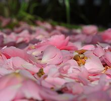 camelia petals by Luke Donegan