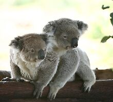 energetic and sleepy koalas by yelys