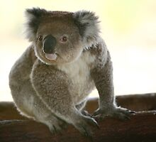 Koala with curiousity by yelys