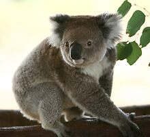 Cute look of a koala by yelys