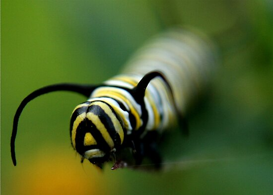 Face to face with a Monarch Caterpillar by Lori Deiter