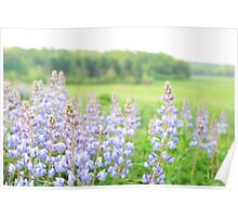 Lavender Lupines Poster