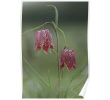 The perfect pair of fritillaries Poster