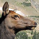Cow Elk by © Loree McComb