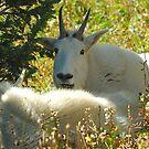 A Goat Siesta by Dennis Jones - CameraView