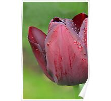 raindrops on tulips Poster