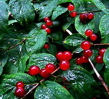 Rainy berries by Bluesrose