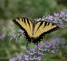 Tiger Swallowtail - male - Papilio glaucas by rd Erickson