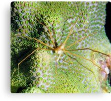 Arrow Crab on Green Star Coral Canvas Print