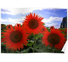 Red sunflower Poster