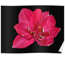 red blossom on black Poster