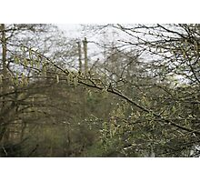 Early catkins Photographic Print
