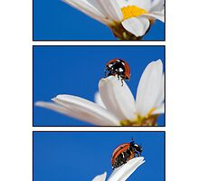 Ladybugs by Melinda Gaal