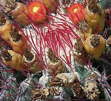 Barrel Cactus Fruit, San Luis Rey by Robert Arconti