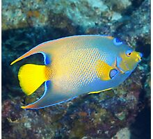 Queen Angelfish Photographic Print