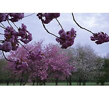 Cherry blossom time Photographic Print