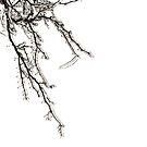 Ice on Branches by BlinkImages