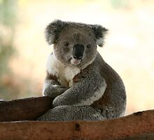 Koala wake up from sleep by yelys