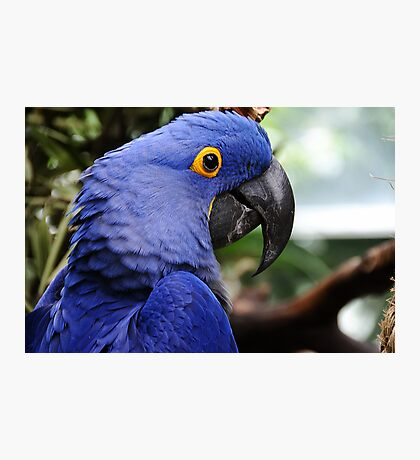 Hyacinth Macaw Photographic Print