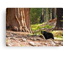 Black Bear in Giant Sequoia Forest Canvas Print