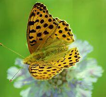 High brown fritillary butterfly by loiteke
