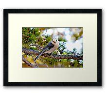 Grey Jay Bird Framed Print