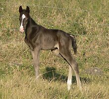 Black Colt Foal by louisegreen