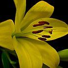 Yellow Lilium by gamaree L