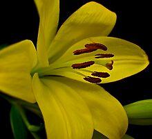 Yellow Lilium by GayeLaunder Photography