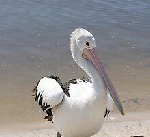 Australian Pelican by Robyn Williams