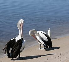 Preening Pelicans by Robyn Williams