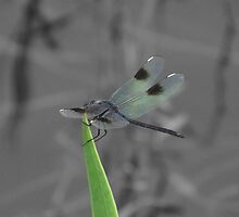 Dragonfly Resting on a Blade of Grass by LuciaJade