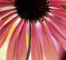 Echinacea 'Summer Sky' II by John Glover