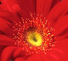 Gerbera by John Glover