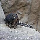 Rock Squirrel by Robert Abraham
