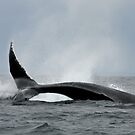 Whale Tail 'Telegram' by Gina Ruttle  (Whalegeek)