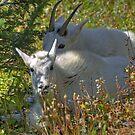 An Afternoon Goat Siesta by Dennis Jones - CameraView