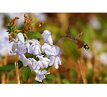 Hummingbird Hawk Moth Hovering Photographic Print