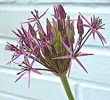 Allium by John Thurgood