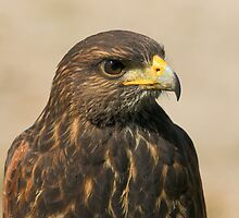 Harris Hawk by Wayne Wood