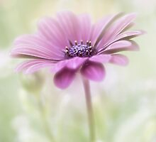 Dainty  by Mandy Disher