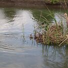 Spring in OZ - new swan family by oiseau