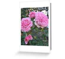 Pink Cabbage Patch Roses Greeting Card