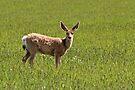 Mule Deer by Ann  Van Breemen