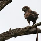 Brown Snake-Eagle by Jared Bloom